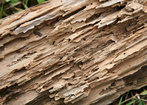 Termite-damaged wood showing rotting galleries outside of a Altamonte Springs home